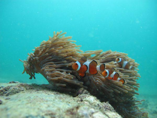Plongée-anémone-poisson-clown