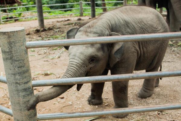 Thailande-elephanteau-domestique