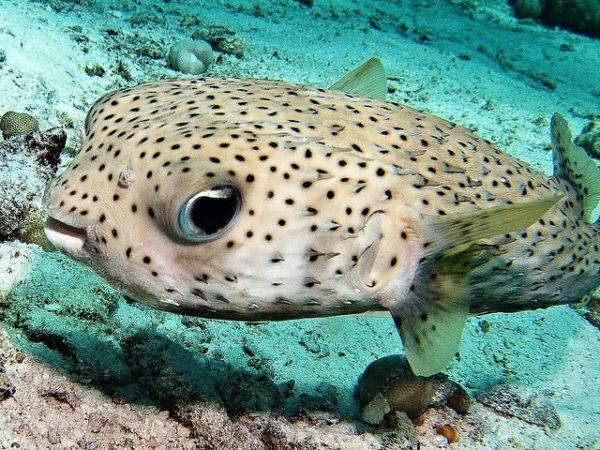 Mer-Asie-Poisson-globe-
